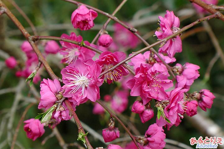 桃の花アップ