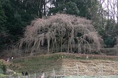 (奥山田のしだれ桜)桜まだ咲かず