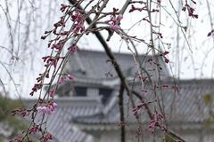 (岡崎公園の桜)ここがスキ!