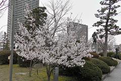 (岡崎公園の桜)なぜか満開の桜