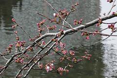 (岡崎公園の桜)あとちょっと...。