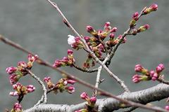 (岡崎公園の桜)あとちょっと...。その2