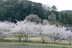 (奥山田のしだれ桜)もしかすると...