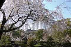 (岡崎公園の桜)城南亭の桜満開
