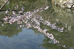 (岡崎公園)今年の一番咲きその2