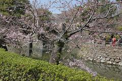 (岡崎公園)今年の一番咲き