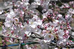 (岡崎公園)桜