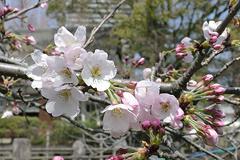 (岡崎公園)桜その2