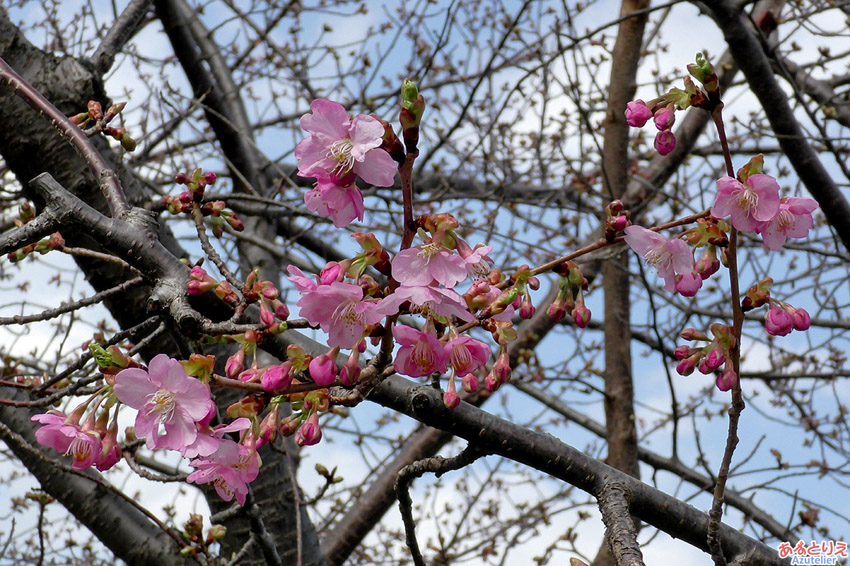 葵桜その2(2018年3月4日)