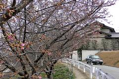 葵桜(2018年3月4日)