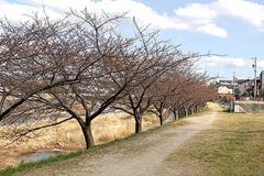葵桜その4(2018年3月4日)