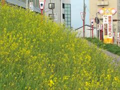 乙川の菜の花
