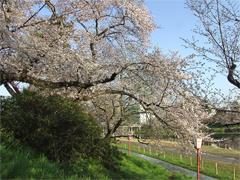 乙川の桜その2(殿橋と明大橋の間)