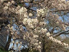 乙川の桜その3(殿橋と明大橋の間)