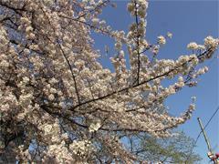 乙川の桜その4(殿橋と明大橋の間)