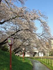 乙川の桜その6(殿橋と明大橋の間)