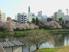 乙川の桜その7(殿橋と明大橋の間)