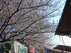 屋台開店前のお花見
