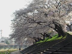 乙川左岸の桜