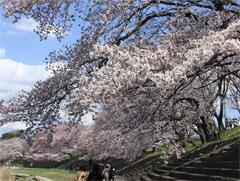 桜の花その2