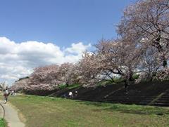 桜の花その4