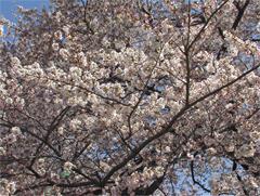 桜の花その3
