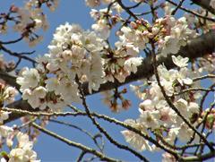 白い桜の花その2