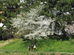 白い桜の木
