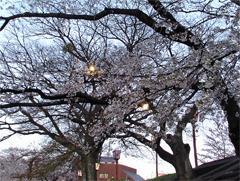 夜桜照明その2