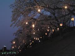 夜桜その5
