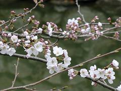 今年の一番咲きその2