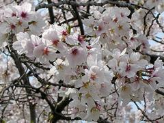 桜の花アップその2