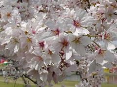 桜の花アップその3