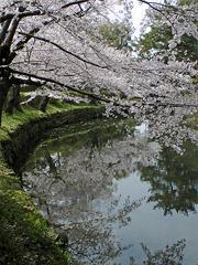 お堀に映る桜