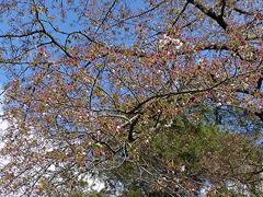 桜はすっかり散ってしまいました