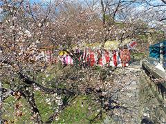 伊賀川(竹千代橋)の桜は...