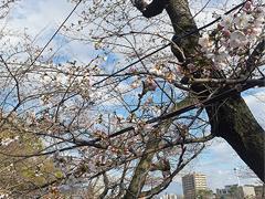 乙川沿いの桜は現在...