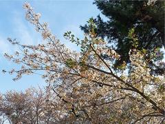 すっかり散ってしまった桜