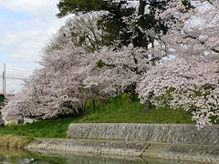 竹千代橋付近の桜