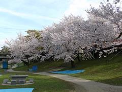 竹千代橋付近の桜その2