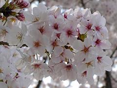 竹千代橋付近の桜その3