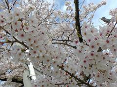 竹千代橋付近の桜その4