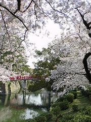 龍城掘その3(神橋と桜)