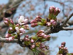 今年の一番咲き?その2(五万石藤北側の桜)