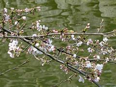 今年の一番咲き?その2(葵松庵前の桜)