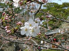 今年の一番咲き?その3(葵松庵前の桜)