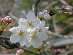 今年の一番咲き?その4(葵松庵前の桜)