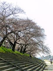 桜まつり始まりました♪その2