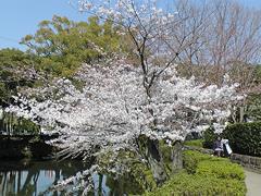 今年の一番咲き!の桜