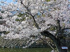 今年の一番咲き!の桜その2